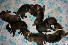 7 x female, 1 week puppies